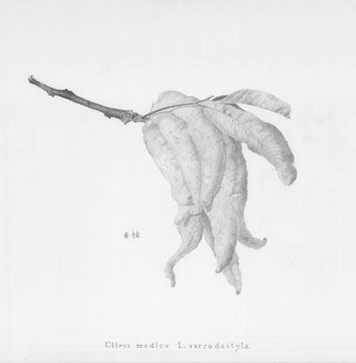 "Citrus medica L. sarcodactyla<br /><br />Medium: Pencil on paper, Unframed<br />Price: $1,800<br /><a href=""Artwork-Jame-CitrusmedicaL.sarcodactyla-2972.htm"">View full artwork details</a>"