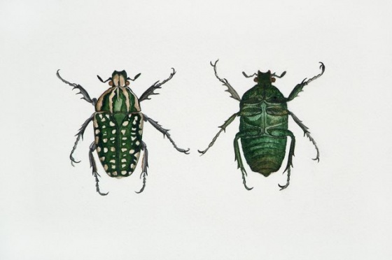 "<h4 style=""margin:0px 0px 5px 0px;"">Chelorhina polyphemus</h4>Medium: Watercolour<br />Price: Sold <span style=""color:#aaa"">