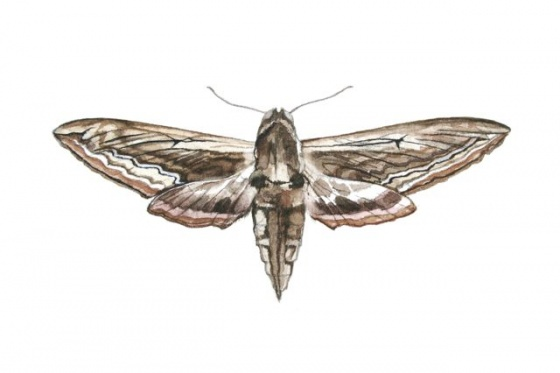 "<h4 style=""margin:0px 0px 5px 0px"">Hawk Moth</h4>Medium: Watercolour &amp; graphite<br />Price: Sold 