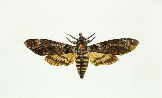 "<h4 style=""margin:0px 0px 5px 0px;"">Hawk Moth (Acherontia atropos)</h4>Medium: Watercolour & graphite<br />Price: $2,200 <span style=""color:#aaa"">