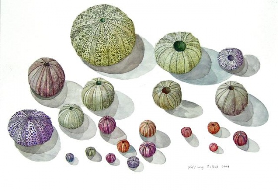 "Sea Urchins<br /><br />Medium: Watercolour<br />Price: Sold<br /><a href=""Artwork-McNab-SeaUrchins-2429.htm"">View full artwork details</a>"