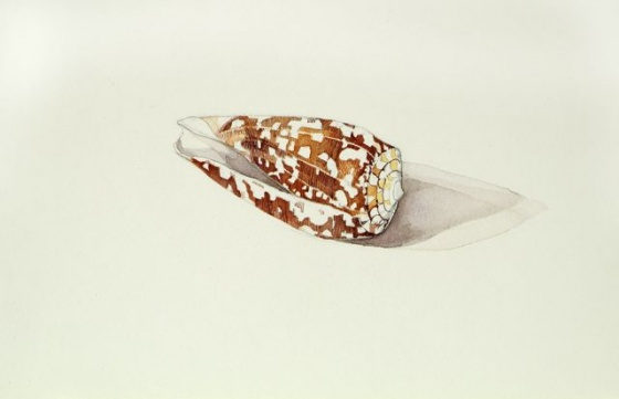 "<h4 style=""margin:0px 0px 5px 0px;"">Striate cone shell</h4>Medium: Watercolour & graphite<br />Price: Sold <span style=""color:#aaa"">