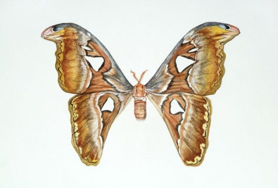 Tiffany McNab - Attacus atlas by Tiffany McNab