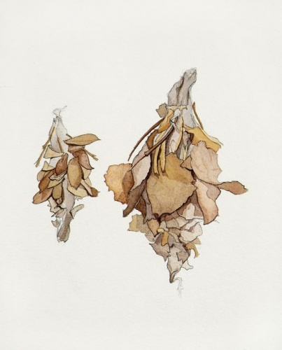 "<h4 style=""margin:0px 0px 5px 0px"">Hyalarcta heubneri by Tiffany McNab</h4>Medium: Watercolour &amp; graphite<br />Price: $2,200 