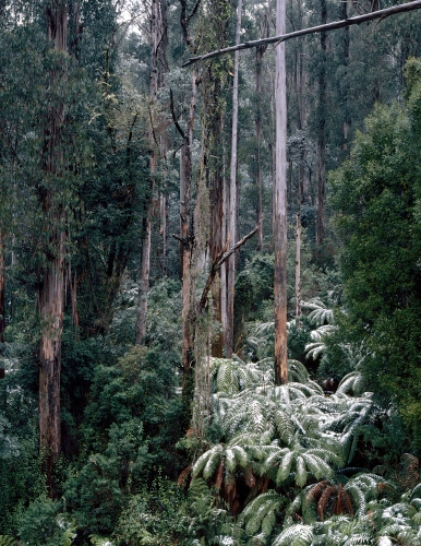 "Ash Forest Yarra Ranges<br /><br />Medium: Chromogenic Print 170gsm<br />Price: $2,000<br /><a href=""Artwork-Tatnall-AshForestYarraRanges-3110.htm"">View full artwork details</a>"