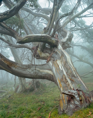 "<h4 style=""margin:0px 0px 5px 0px"">Snow Gum, Bluff Spur</h4>Medium: Chromogenic  Print,  170 gsm<br />Price: $2,000 